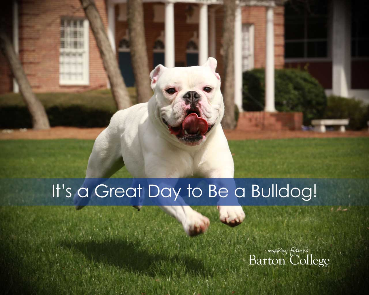 Bulldog running across campus
